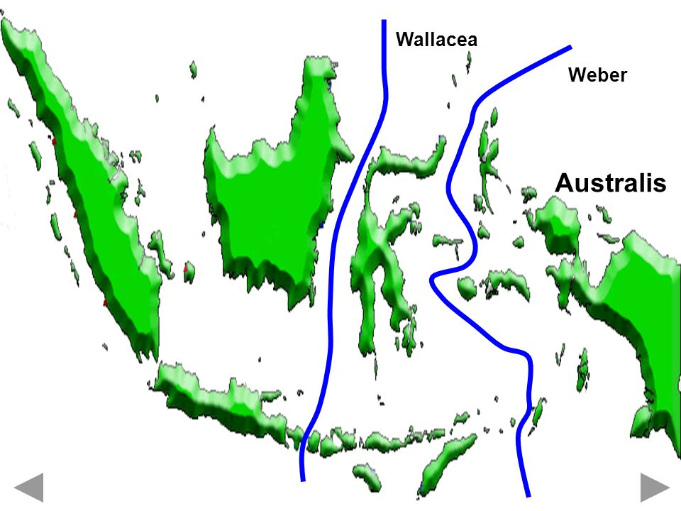 Wallacea Australis Weber
