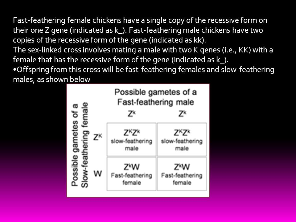 Fast-feathering female chickens have a single copy of the recessive form on their one Z gene (indicated as k_). Fast-feathering male chickens have two