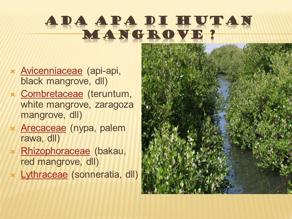  Avicenniaceae (api-api, black mangrove, dll) Avicenniaceae  Combretaceae (teruntum, white mangrove, zaragoza mangrove, dll) Combretaceae  Arecaceae (nypa, palem rawa, dll) Arecaceae  Rhizophoraceae (bakau, red mangrove, dll) Rhizophoraceae  Lythraceae (sonneratia, dll) Lythraceae