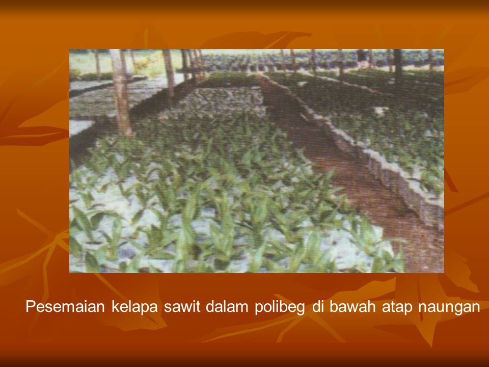 Pesemaian dalam polibeg  Dapat dilakukan di kantung plastik, keranjang bambu atau bakul.