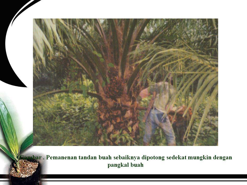 Cara Panen Berdasarkan tinggi tanaman dikenal 3 cara panen yaitu cara jongkok (pada tanaman dgn tinggi 2 – 5 m, alat dodos), cara berdiri (pada tanaman dengan ketinggian 5-10 m, alat kapak siam), cara panen egrek (tanaman > 10 m, alat arit bergagang panjang).
