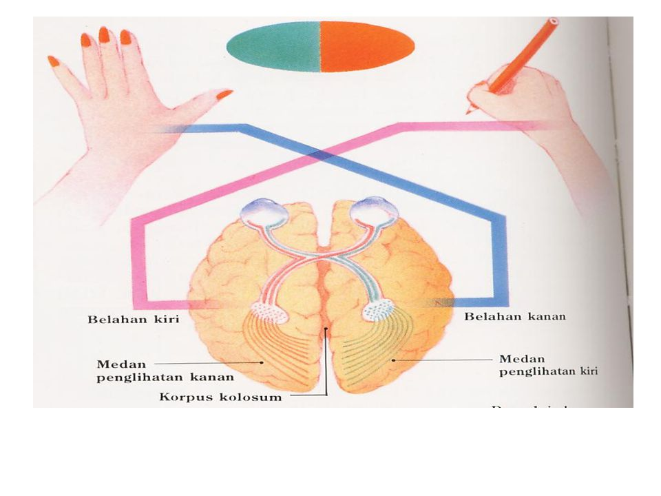 Cortex: Hemisfere kiri dan hemisfere kanan Masing-masing hemisfere: a.