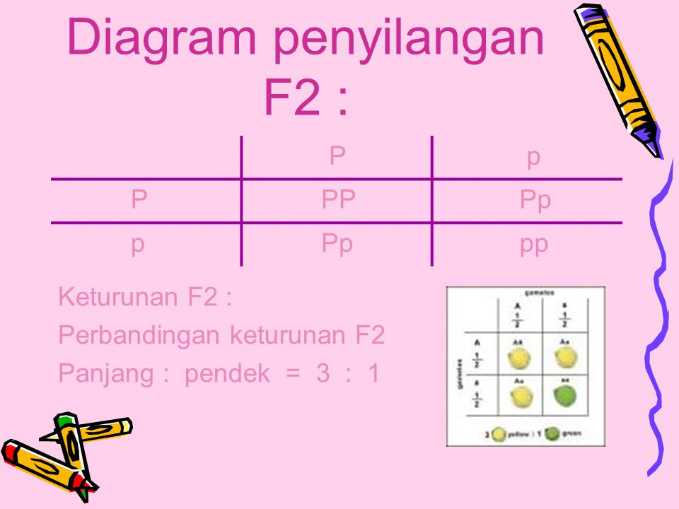 Jika disilangkan sesama F1 P : batang panjang X batang panjang ( Pp ) ( Pp ) G : P P p p F2 : PP( panjang ) Pp( panjang ) pp( pendek )