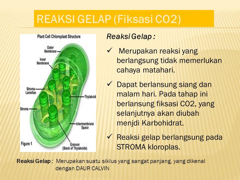 REAKSI GELAP (Fiksasi CO2) Reaksi Gelap : Merupakan reaksi yang berlangsung tidak memerlukan cahaya matahari. Dapat berlansung siang dan malam hari. P