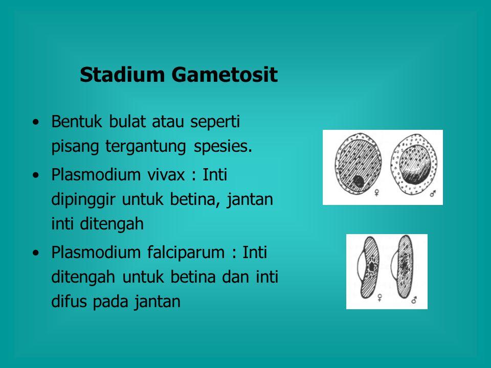 Stadium Gametosit Bentuk bulat atau seperti pisang tergantung spesies. Plasmodium vivax : Inti dipinggir untuk betina, jantan inti ditengah Plasmodium