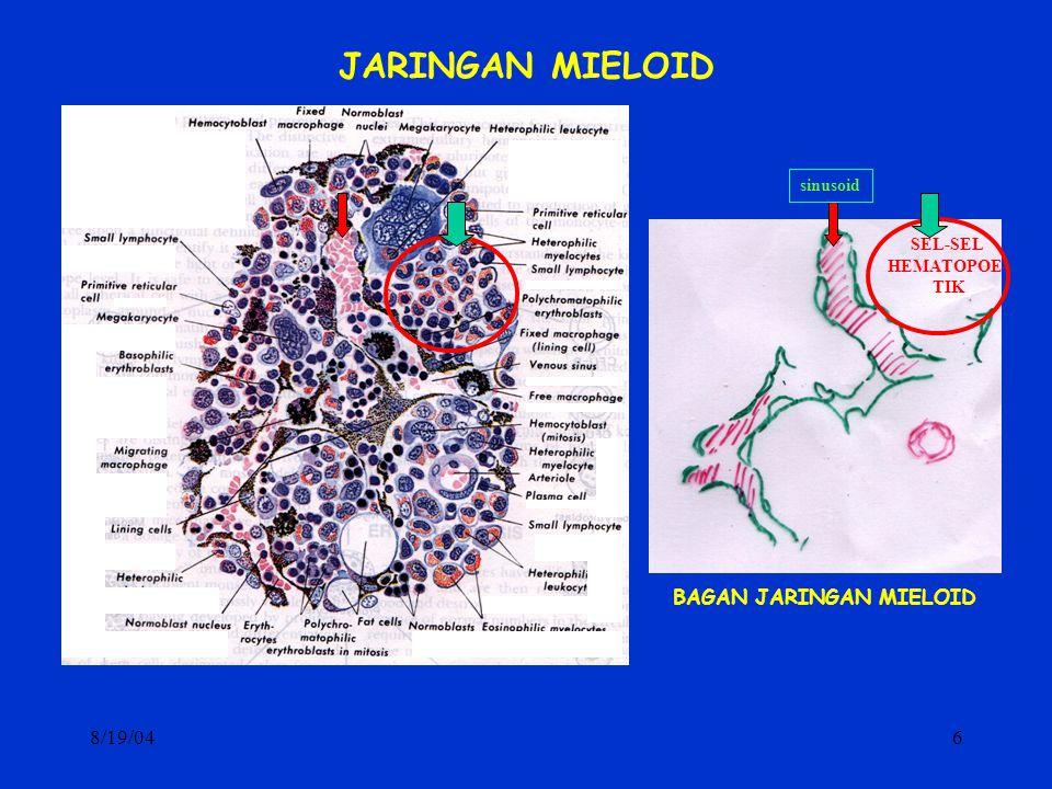 8/19/046 JARINGAN MIELOID sinusoid SEL-SEL HEMATOPOE- TIK BAGAN JARINGAN MIELOID