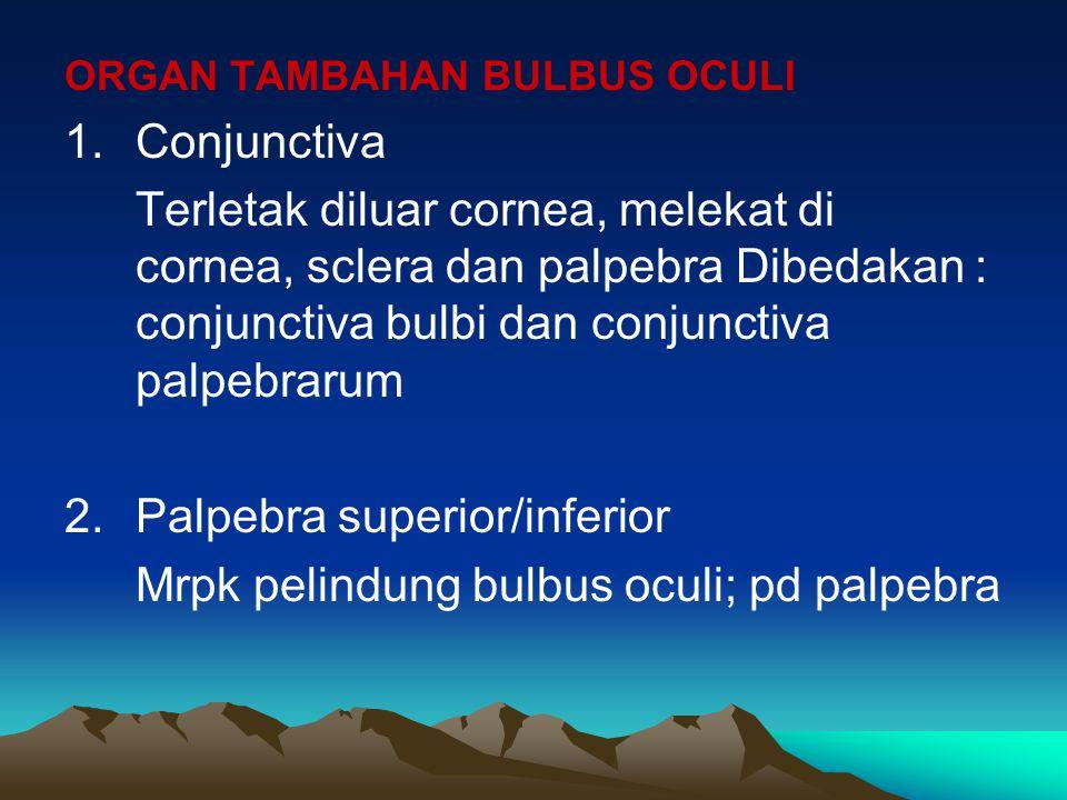 ORGAN TAMBAHAN BULBUS OCULI 1.Conjunctiva Terletak diluar cornea, melekat di cornea, sclera dan palpebra Dibedakan : conjunctiva bulbi dan conjunctiva