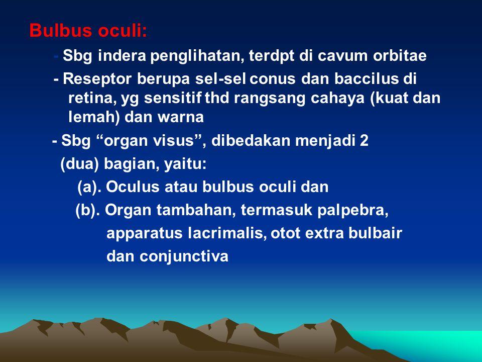 Bulbus oculi: - Sbg indera penglihatan, terdpt di cavum orbitae - Reseptor berupa sel-sel conus dan baccilus di retina, yg sensitif thd rangsang cahay