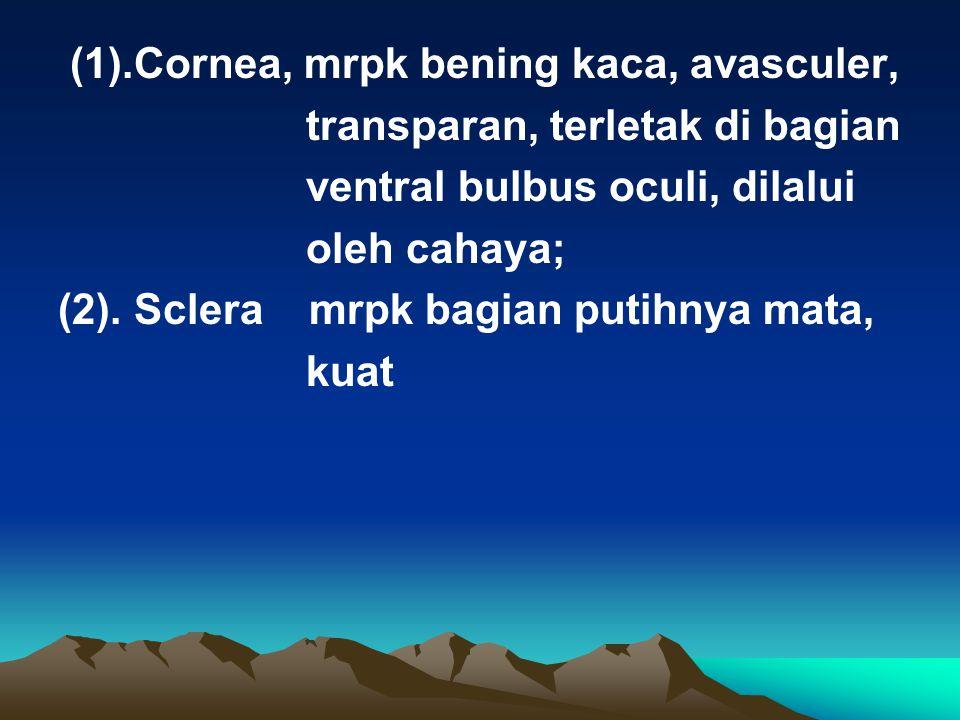 (1).Cornea, mrpk bening kaca, avasculer, transparan, terletak di bagian ventral bulbus oculi, dilalui oleh cahaya; (2). Sclera mrpk bagian putihnya ma