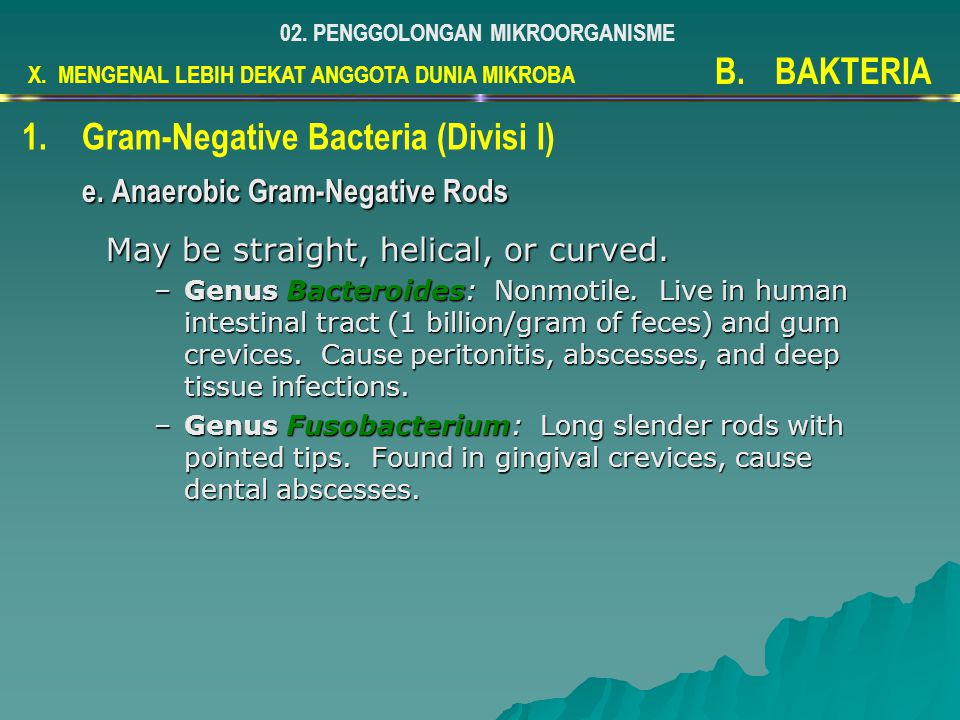 May be straight, helical, or curved. –Genus Bacteroides: Nonmotile. Live in human intestinal tract (1 billion/gram of feces) and gum crevices. Cause p