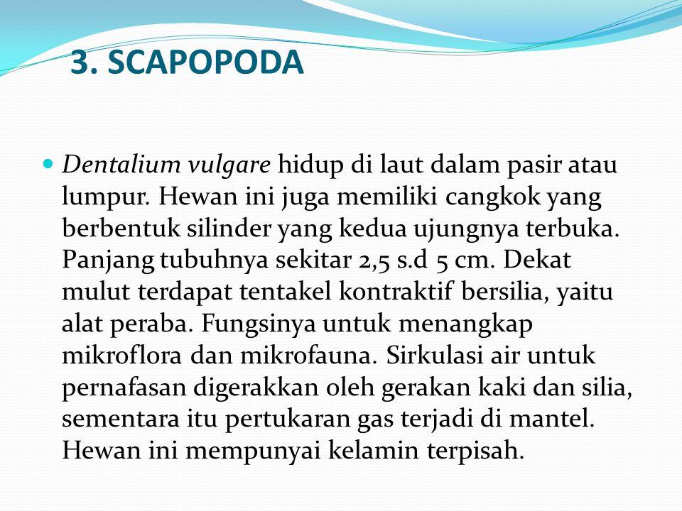 3. SCAPOPODA Dentalium vulgare hidup di laut dalam pasir atau lumpur. Hewan ini juga memiliki cangkok yang berbentuk silinder yang kedua ujungnya terb