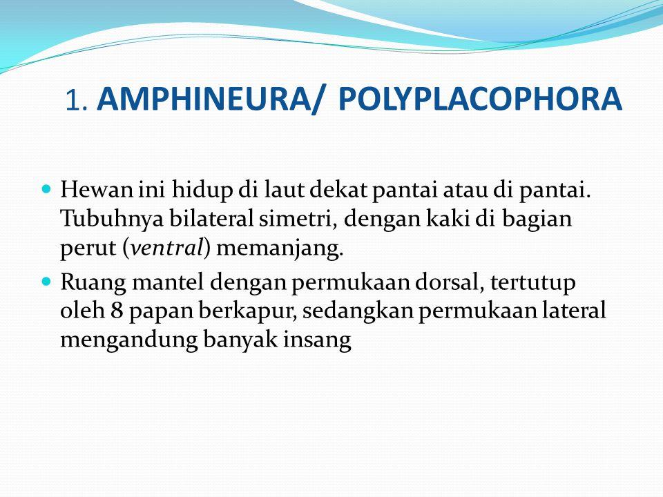 1. AMPHINEURA/ POLYPLACOPHORA Hewan ini hidup di laut dekat pantai atau di pantai. Tubuhnya bilateral simetri, dengan kaki di bagian perut (ventral) m