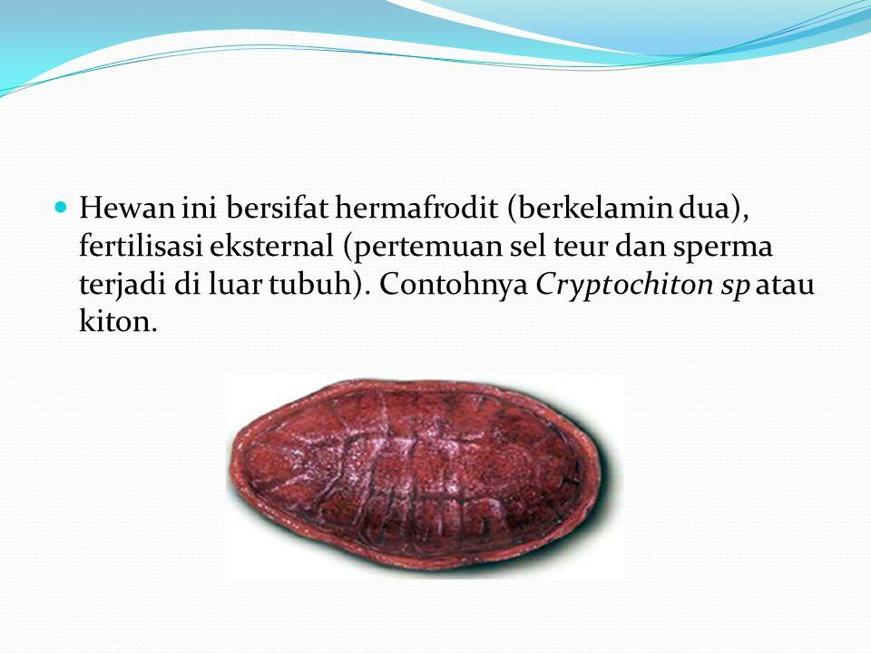 Hewan ini bersifat hermafrodit (berkelamin dua), fertilisasi eksternal (pertemuan sel teur dan sperma terjadi di luar tubuh). Contohnya Cryptochiton s