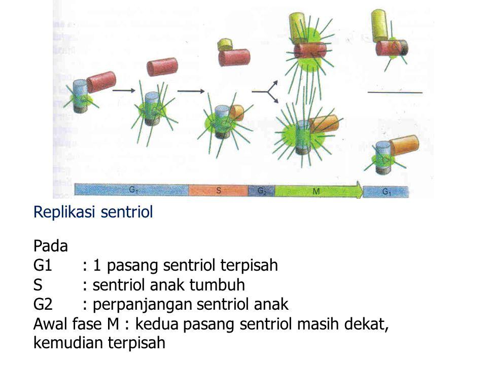 Replikasi sentriol Pada G1: 1 pasang sentriol terpisah S: sentriol anak tumbuh G2: perpanjangan sentriol anak Awal fase M : kedua pasang sentriol masi