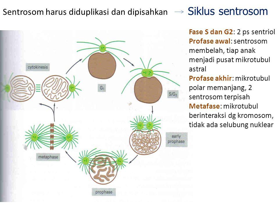 Siklus sentrosom Sentrosom harus diduplikasi dan dipisahkan Fase S dan G2: 2 ps sentriol Profase awal: sentrosom membelah, tiap anak menjadi pusat mik