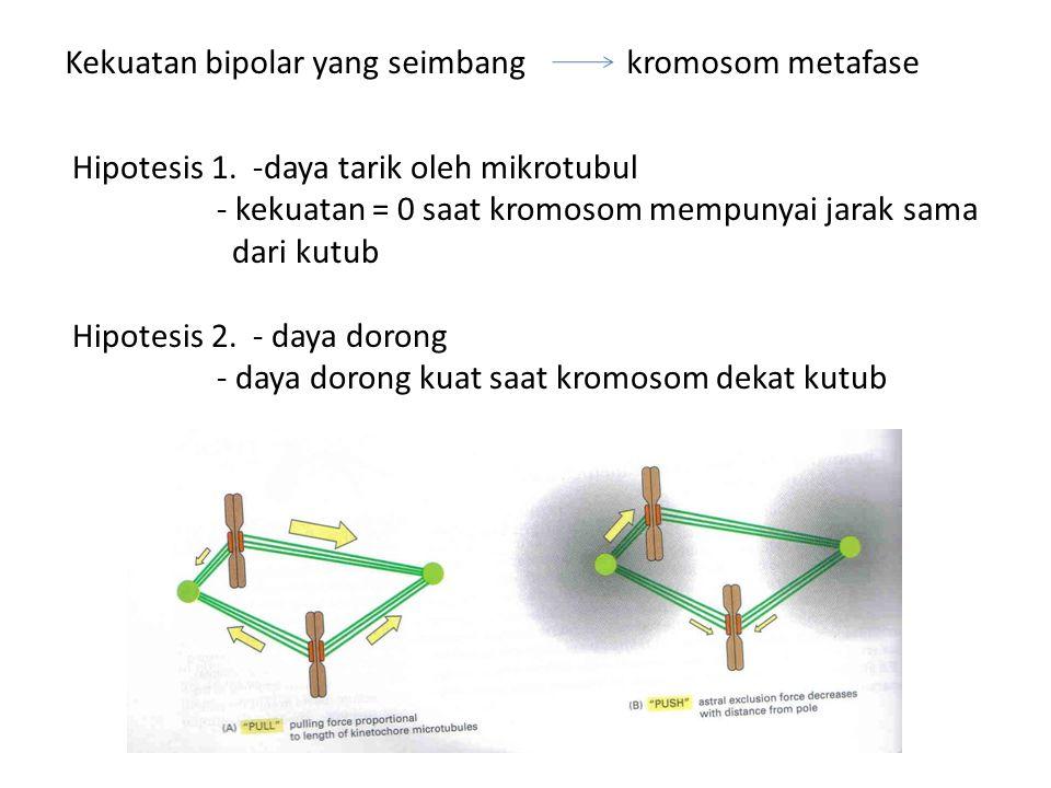 Kekuatan bipolar yang seimbang kromosom metafase Hipotesis 1. -daya tarik oleh mikrotubul - kekuatan = 0 saat kromosom mempunyai jarak sama dari kutub