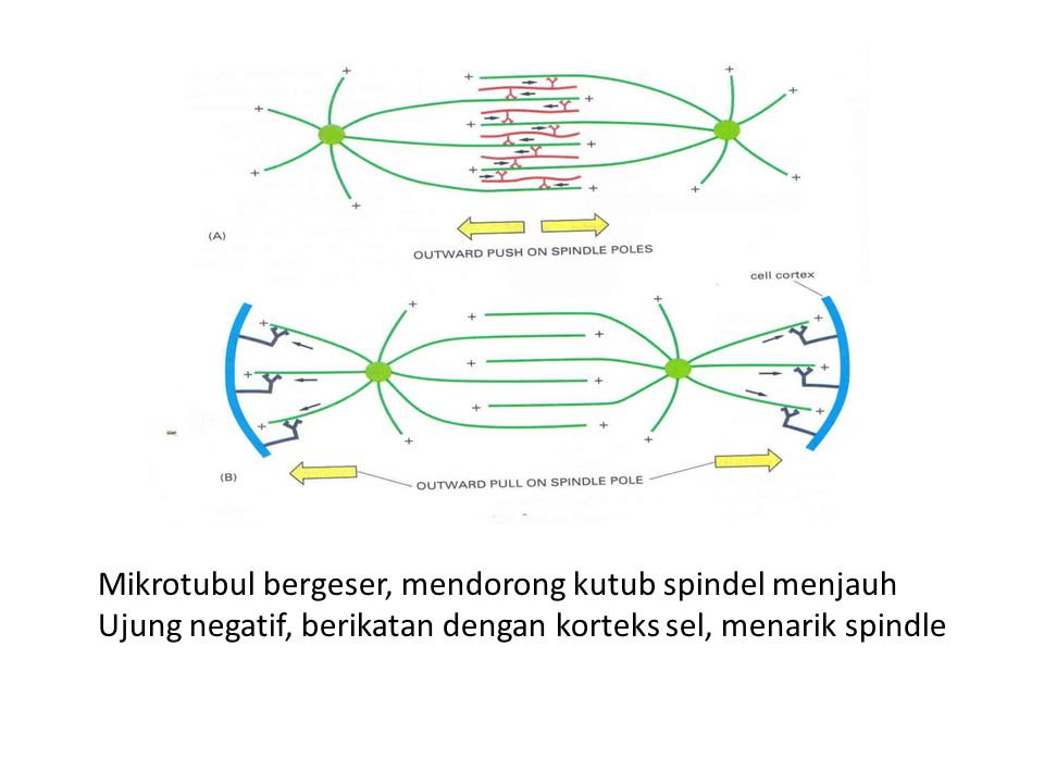 Mikrotubul bergeser, mendorong kutub spindel menjauh Ujung negatif, berikatan dengan korteks sel, menarik spindle