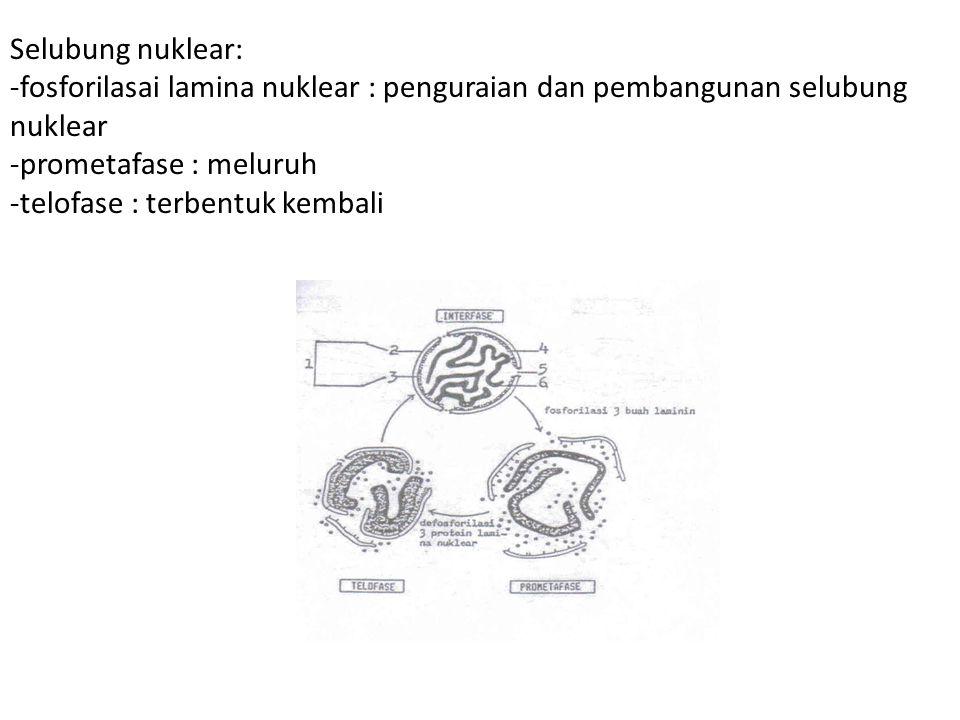 Selubung nuklear: -fosforilasai lamina nuklear : penguraian dan pembangunan selubung nuklear -prometafase : meluruh -telofase : terbentuk kembali