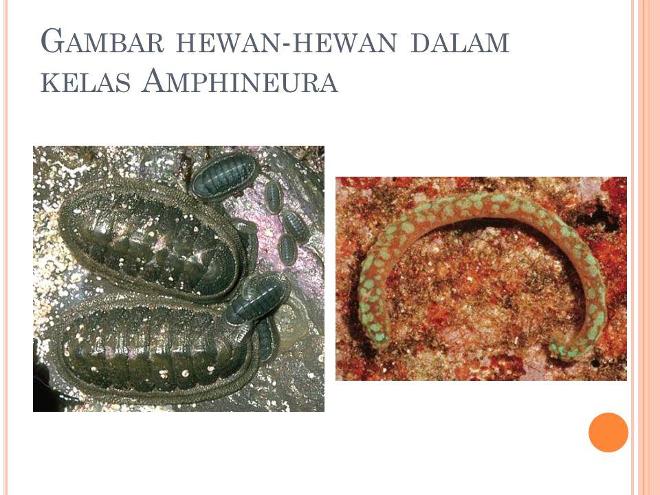 G AMBAR HEWAN - HEWAN DALAM KELAS A MPHINEURA