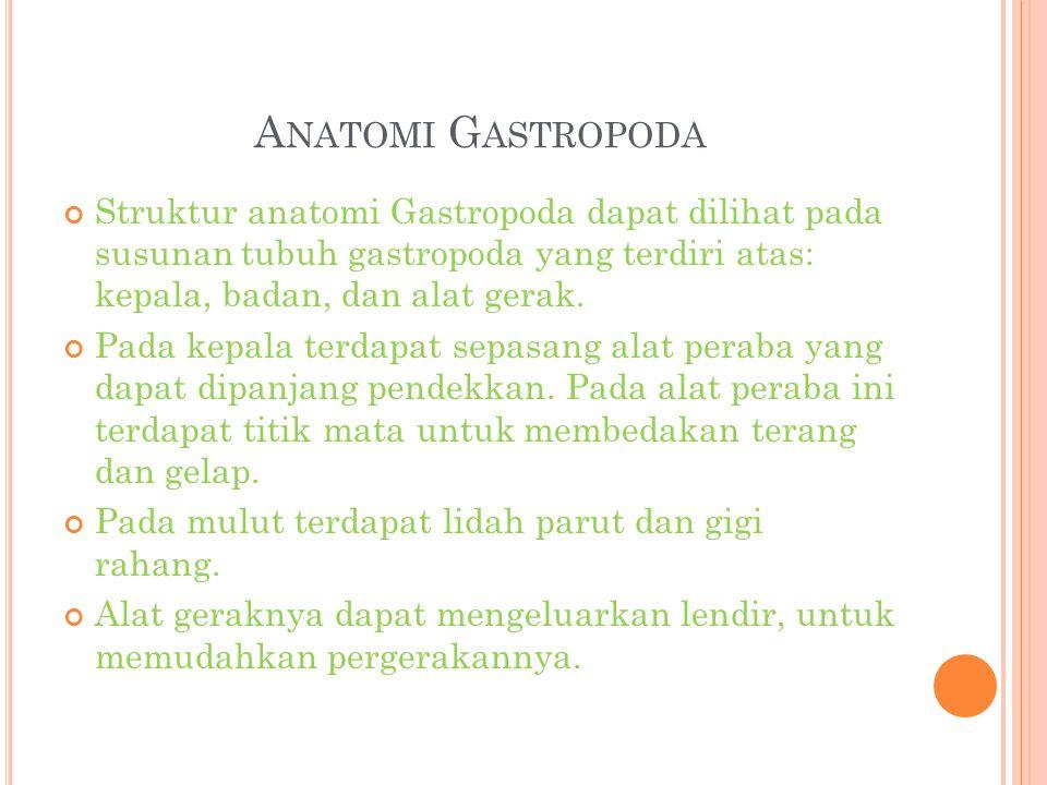 A NATOMI G ASTROPODA Struktur anatomi Gastropoda dapat dilihat pada susunan tubuh gastropoda yang terdiri atas: kepala, badan, dan alat gerak. Pada ke