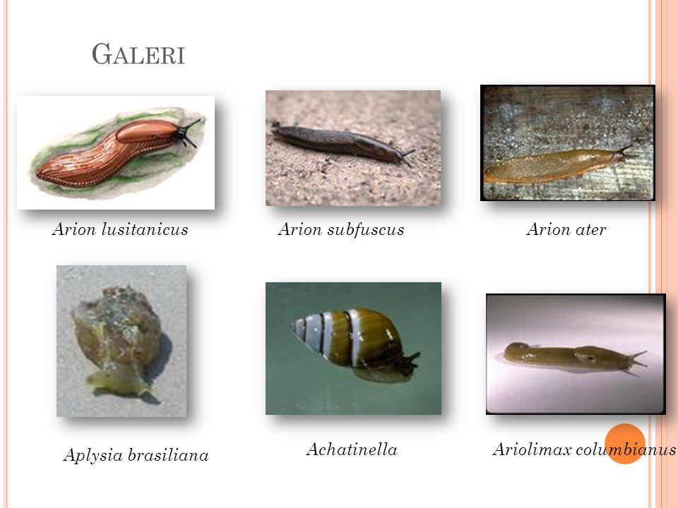 G ALERI Arion lusitanicusArion subfuscusArion ater AchatinellaAriolimax columbianus Aplysia brasiliana