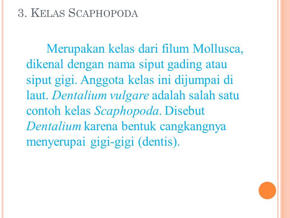 3. K ELAS S CAPHOPODA Merupakan kelas dari filum Mollusca, dikenal dengan nama siput gading atau siput gigi. Anggota kelas ini dijumpai di laut. Denta