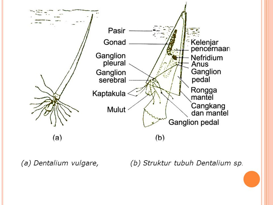 (a) Dentalium vulgare, (b) Struktur tubuh Dentalium sp.