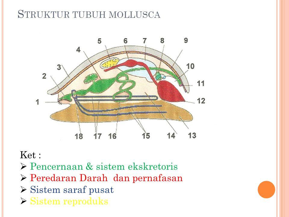 S TRUKTUR TUBUH MOLLUSCA Ket :  Pencernaan & sistem ekskretoris  Peredaran Darah dan pernafasan  Sistem saraf pusat  Sistem reproduks