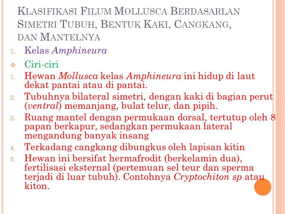 K LASIFIKASI F ILUM M OLLUSCA B ERDASARLAN S IMETRI T UBUH, B ENTUK K AKI, C ANGKANG, DAN M ANTELNYA 1. Kelas Amphineura  Ciri-ciri 1. Hewan Mollusca