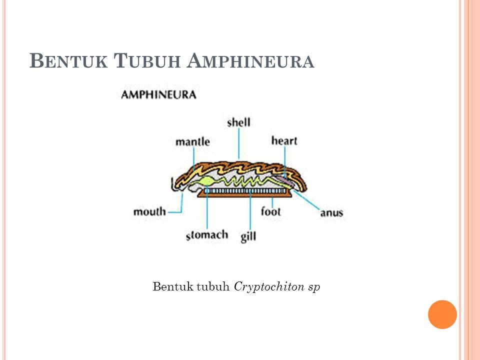 B ENTUK T UBUH A MPHINEURA Bentuk tubuh Cryptochiton sp