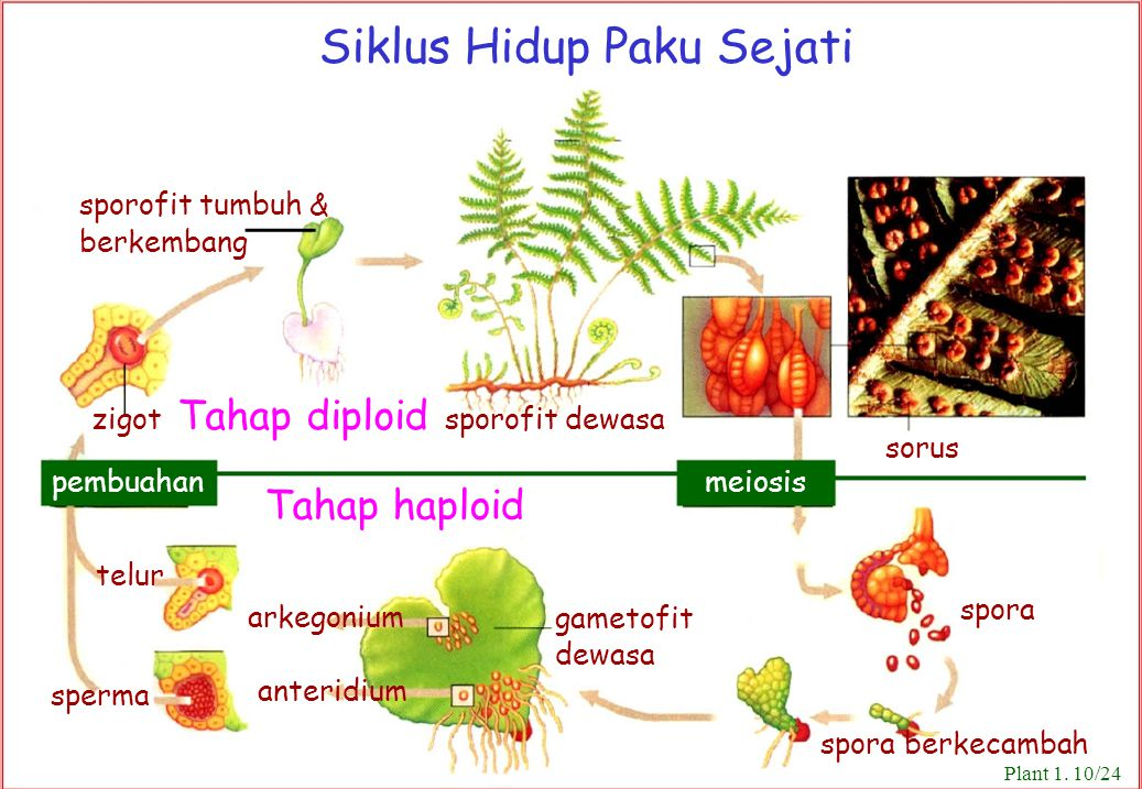 Tahap haploid Siklus Hidup Paku Sejati sporofit tumbuh & berkembang sorus spora gametofit dewasa arkegonium anteridium telur sperma zigot Tahap diploi