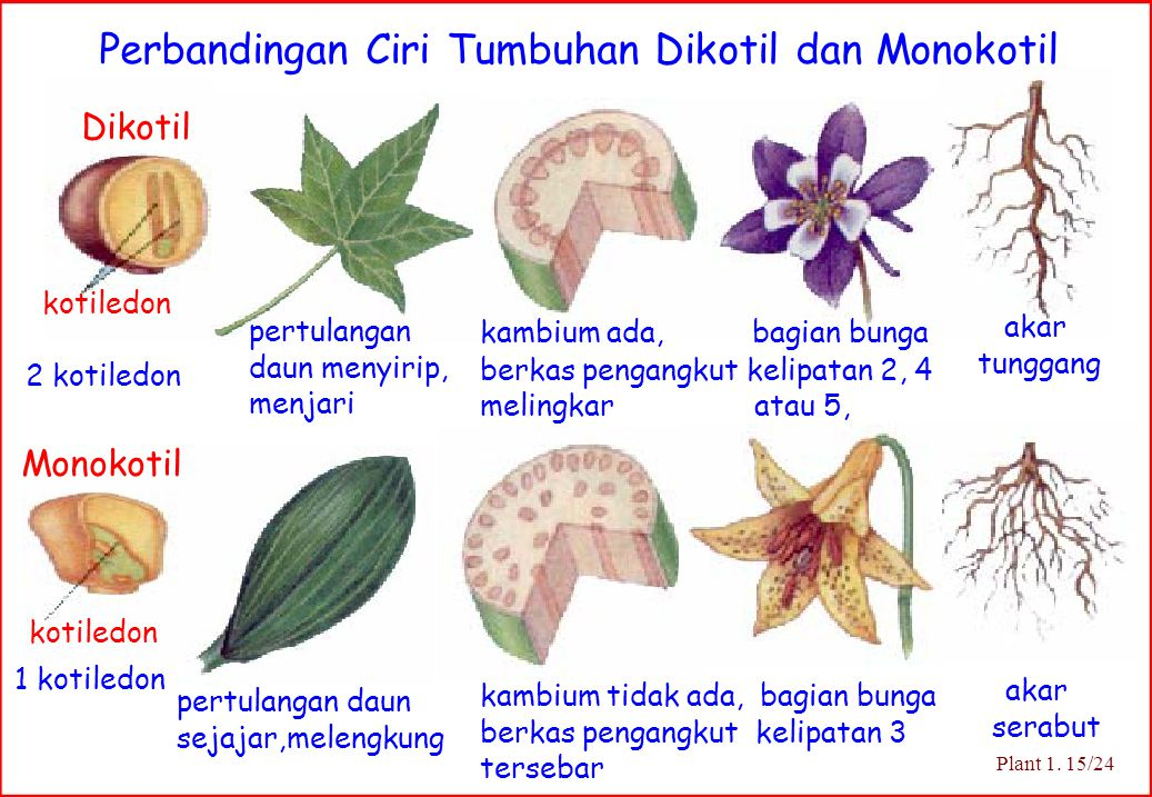 Perbandingan Ciri Tumbuhan Dikotil dan Monokotil Dikotil Monokotil 1 kotiledon akar tunggang pertulangan daun menyirip, menjari pertulangan daun sejaj