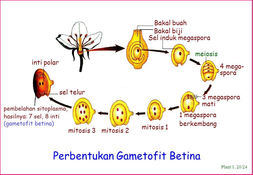 Bakal buah Bakal biji Sel induk megaspora meiosis 4 mega- spora mitosis 1 sel telur pembelahan sitoplasma, hasilnya: 7 sel, 8 inti (gametofit betina)