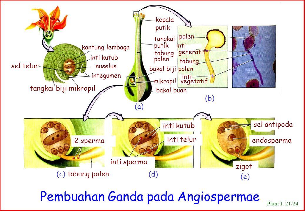 tangkai tabung mikropil vegetatif Plant 1. 21/24 Pembuahan Ganda pada Angiospermae kantung lembaga inti kutub sel telur nuselus integumen tangkai biji