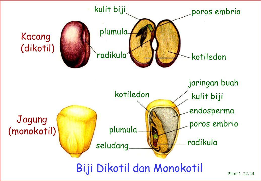 Biji Dikotil dan Monokotil Kacang (dikotil) Jagung (monokotil) poros embrio kulit biji kotiledon jaringan buah kulit biji endosperma poros embrio radi