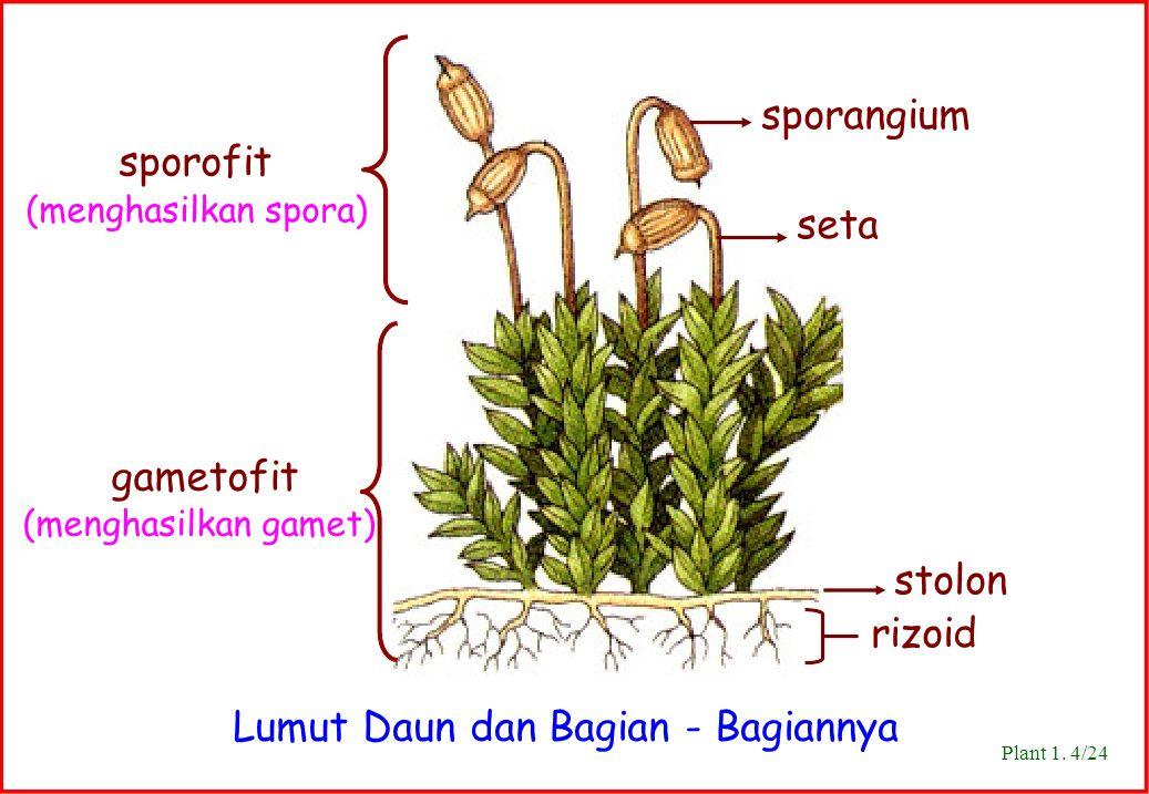 Lumut Daun dan Bagian - Bagiannya stolon rizoid sporangium seta gametofit (menghasilkan gamet) sporofit (menghasilkan spora) Plant 1. 4/24