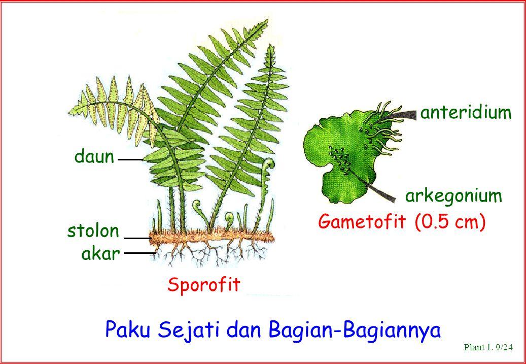 Paku Sejati dan Bagian-Bagiannya arkegonium Gametofit (0.5 cm) Sporofit stolon akar anteridium daun Plant 1. 9/24