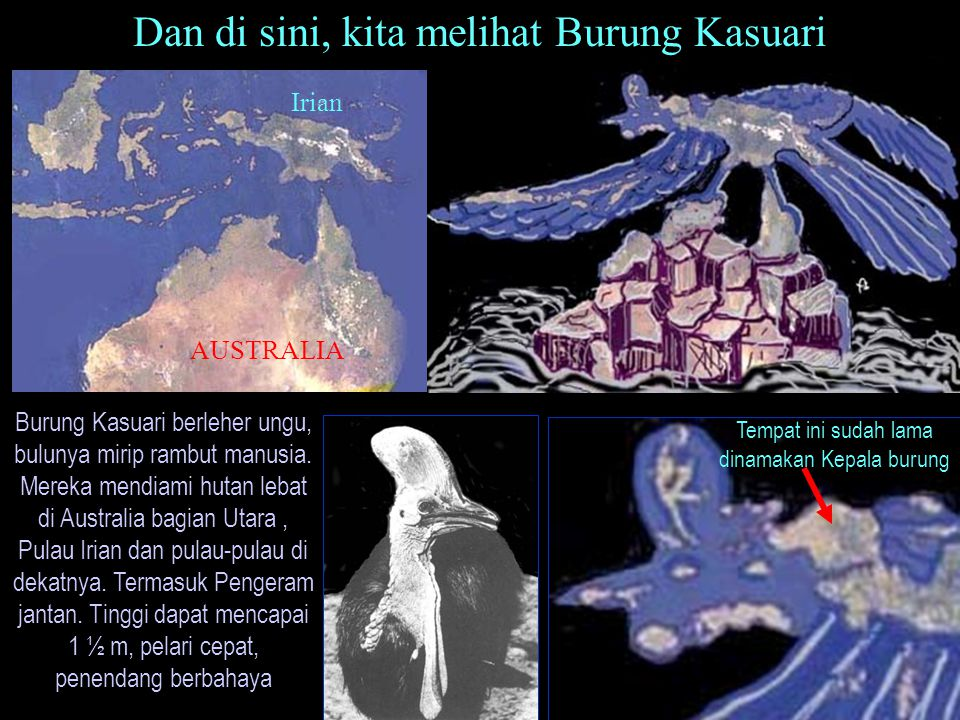 Burung Kasuari berleher ungu, bulunya mirip rambut manusia. Mereka mendiami hutan lebat di Australia bagian Utara, Pulau Irian dan pulau-pulau di deka