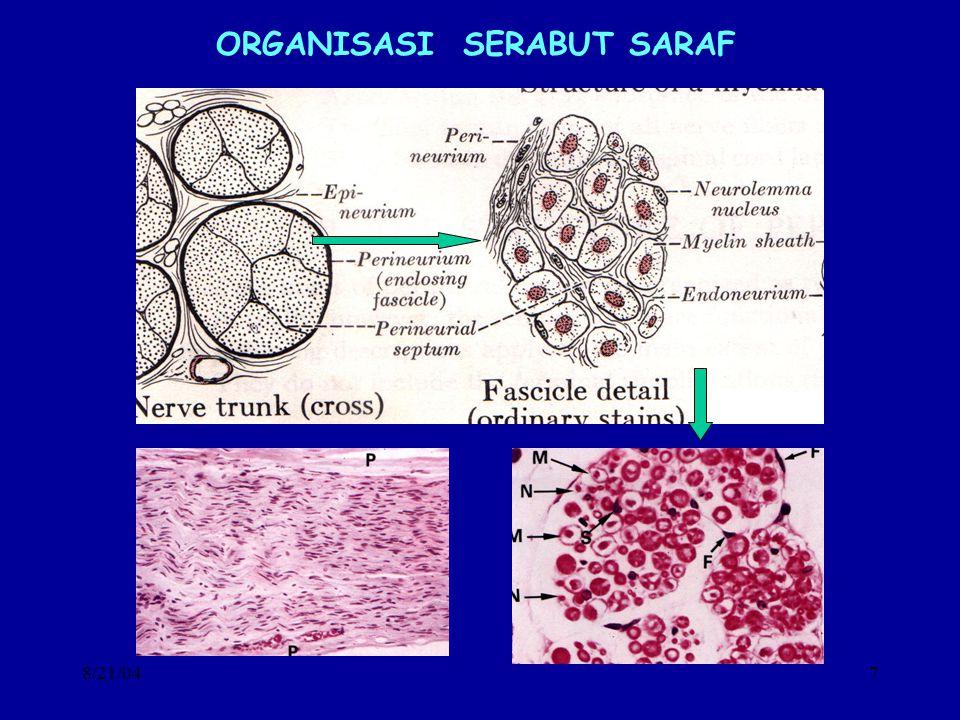 8/21/048 FUNGSI BERKAS SERABUT SARAF BERKAS SERABUT SARAF MENGHUBUNGKAN SISTEM SARAF PUSAT DENGAN DAERAH SEKITARNYA SECARA TIMBAL BALIK –NERVUS CRANIALIS –NERVUS SPINALIS DALAM BERKAS SERABUT SARAF TERDAPAT: –SERABUT SARAF MOTORIK ATAU SERABUT SARAF EFEREN MEMBAWA IMPULS DARI PUSAT MENUJU KE EFEKTOR SEL-SEL SARAF DALAM SSP BERKUMPUL DALAM NUCLEUS –SERABUT SARAF SENSORIS ATAU SERABUT AFEREN MEMBAWA IMPULS DARI ALAT-ALAT DALAM DAN LINGKUNGAN MENUJU PUSAT SEL-SEL SARAF BERKUMPUL DALAM GANGLION –SERABUT SARAF BERMIELIN DAN TIDAK BERMIELIN –SERABUT SARAF AUTONOM SERABUT SARAF SIMPATIS SERABUT SARAF PARA SIMPATIS SUBOWO