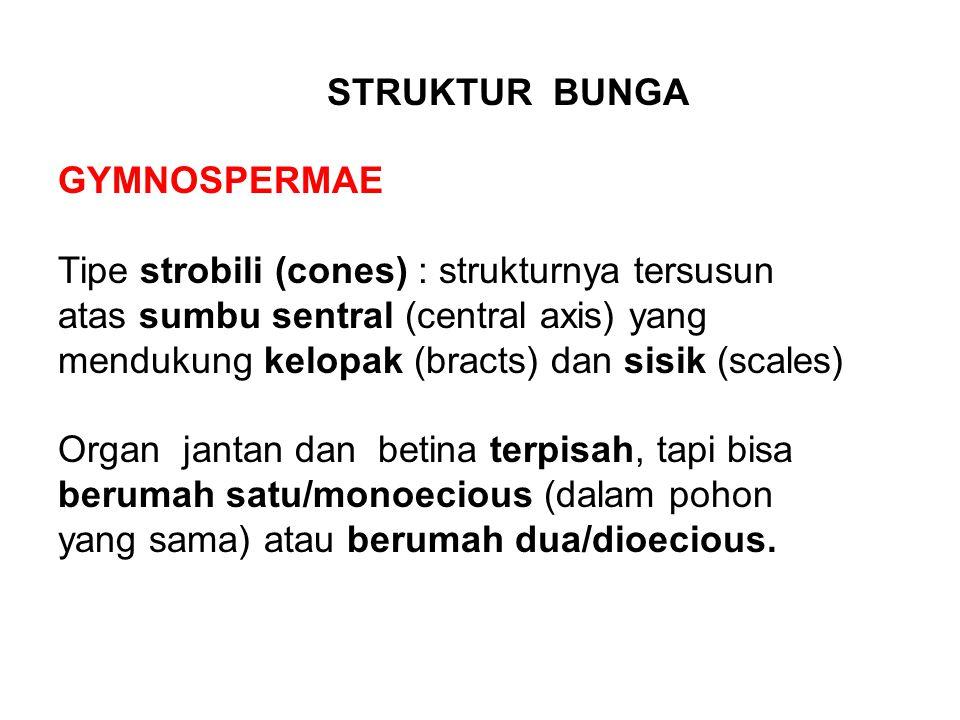 GYMNOSPERMAE Tipe strobili (cones) : strukturnya tersusun atas sumbu sentral (central axis) yang mendukung kelopak (bracts) dan sisik (scales) Organ j