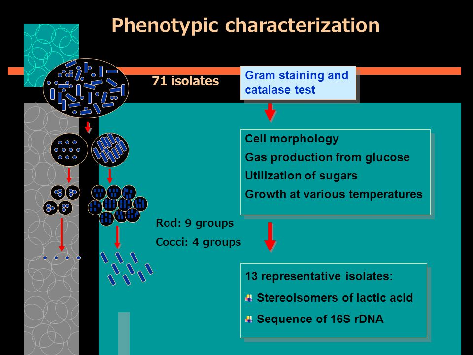 Phenotypic characterization Gram staining and catalase test Cell morphology Gas production from glucose Utilization of sugars Growth at various temperatures 13 representative isolates: Stereoisomers of lactic acid Sequence of 16S rDNA 71 isolates Rod: 9 groups Cocci: 4 groups