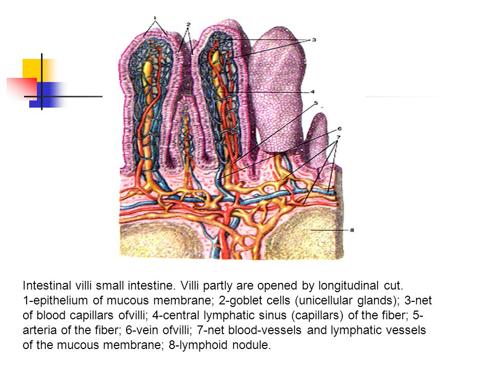 Intestinal villi small intestine. Villi partly are opened by longitudinal cut. 1-epithelium of mucous membrane; 2-goblet cells (unicellular glands); 3