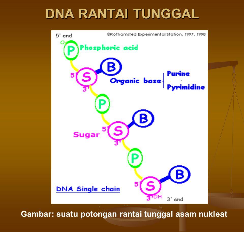 DNA RANTAI TUNGGAL Gambar: suatu potongan rantai tunggal asam nukleat
