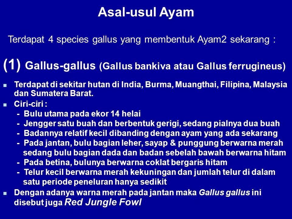 Asal-usul Ayam Terdapat 4 species gallus yang membentuk Ayam2 sekarang : (1) Gallus-gallus (Gallus bankiva atau Gallus ferrugineus) Terdapat di sekita