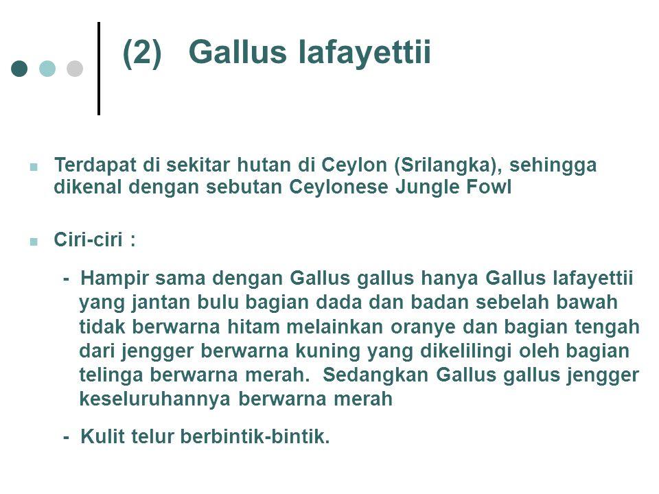 (2)Gallus lafayettii Terdapat di sekitar hutan di Ceylon (Srilangka), sehingga dikenal dengan sebutan Ceylonese Jungle Fowl Ciri-ciri : - Hampir sama