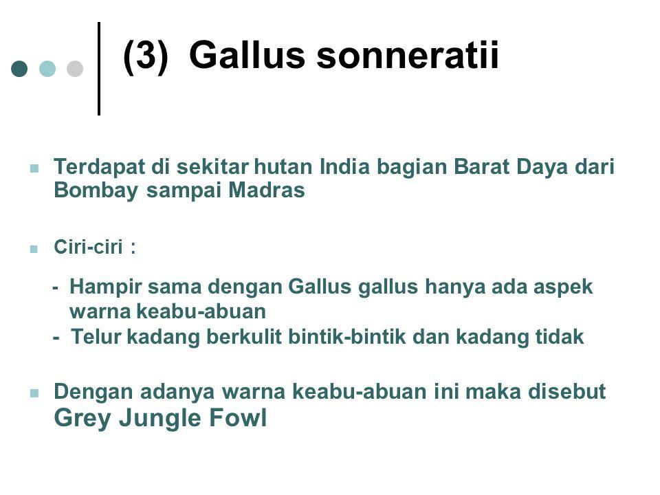 (3)Gallus sonneratii Terdapat di sekitar hutan India bagian Barat Daya dari Bombay sampai Madras Ciri-ciri : - Hampir sama dengan Gallus gallus hanya