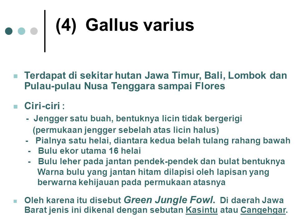 (4)Gallus varius Terdapat di sekitar hutan Jawa Timur, Bali, Lombok dan Pulau-pulau Nusa Tenggara sampai Flores Ciri-ciri : - Jengger satu buah, bentu