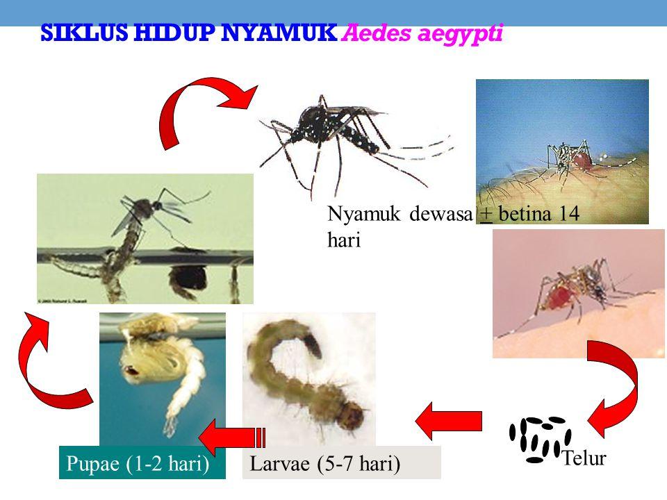 SIKLUS HIDUP NYAMUK Aedes aegypti Larvae (5-7 hari)Pupae (1-2 hari) Nyamuk dewasa + betina 14 hari Telur