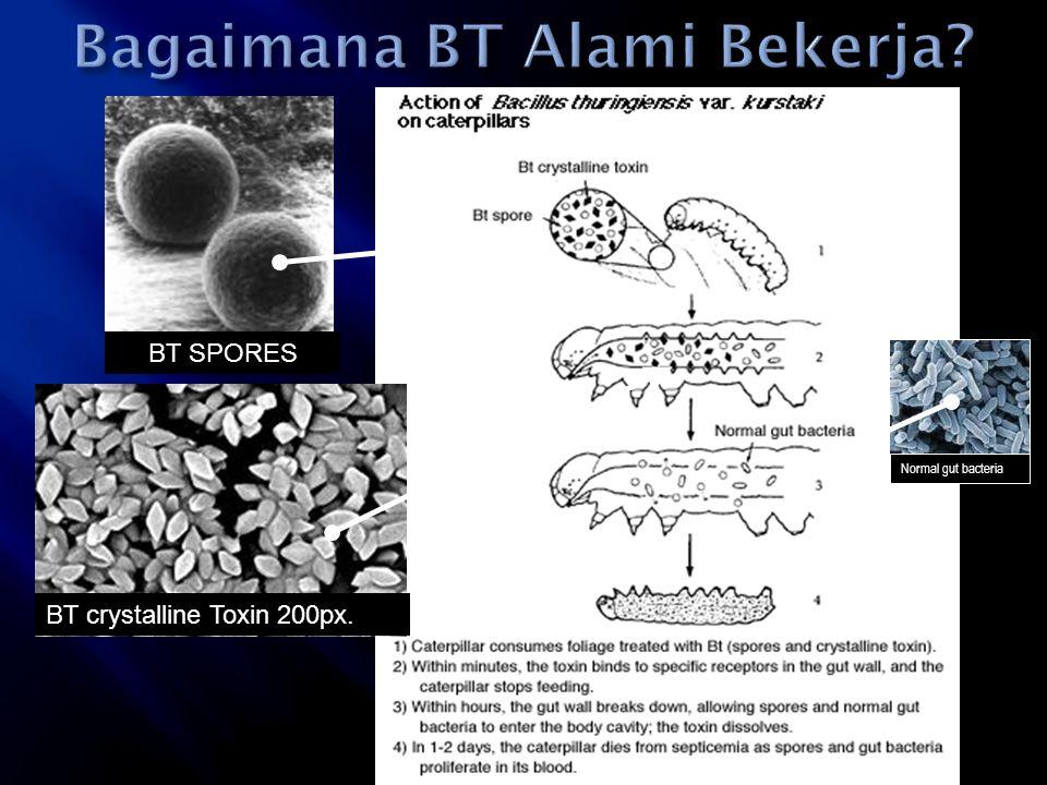 BT crystalline Toxin 200px. Normal gut bacteria BT SPORES
