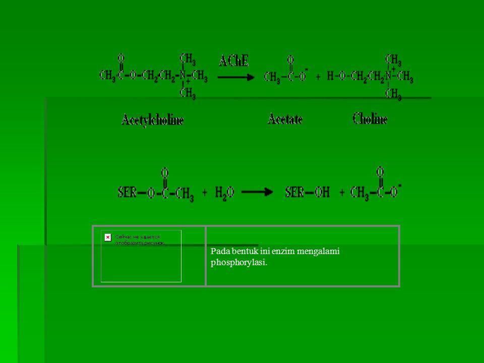 Pada bentuk ini enzim mengalami phosphorylasi.